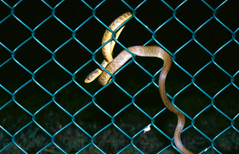 snakes hanging on fences